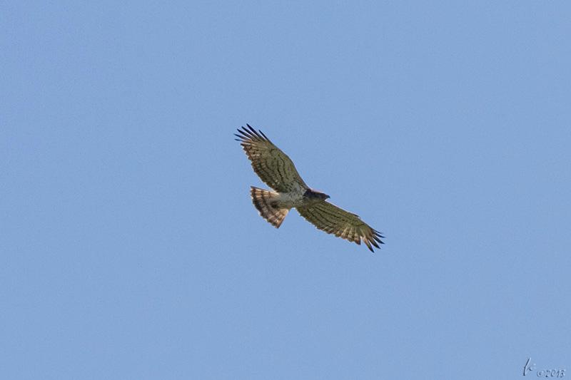 Águia-cobreira (Circaetus gallicus) - Abril, perto de Castro Verde Short-toed Eagle
