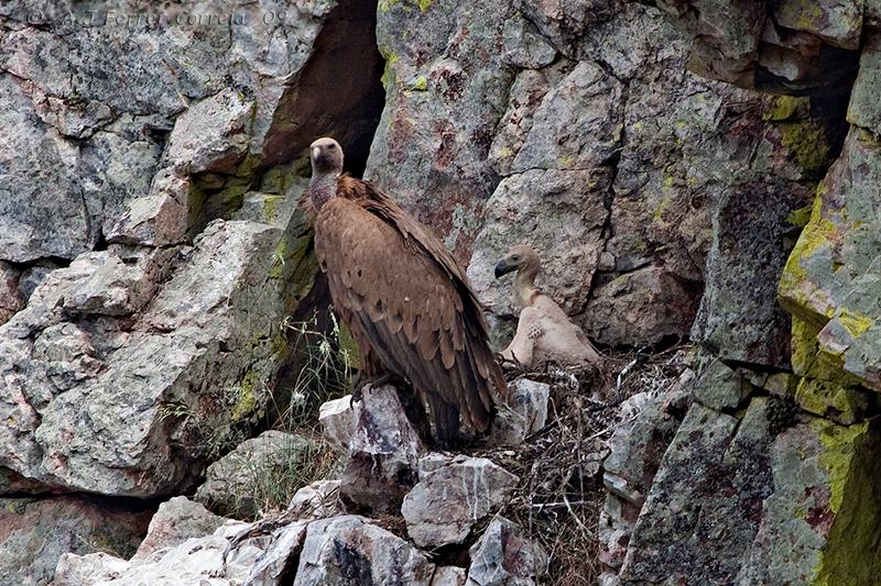 Grifo (Gyps fulvus), ninho no Parque Nacional de Monfragüe, Espanha Buitre común, nido en el Parque Nacional de Monfragüe, España Griffon Vulture, nest at Monfragüe National Park, Spain