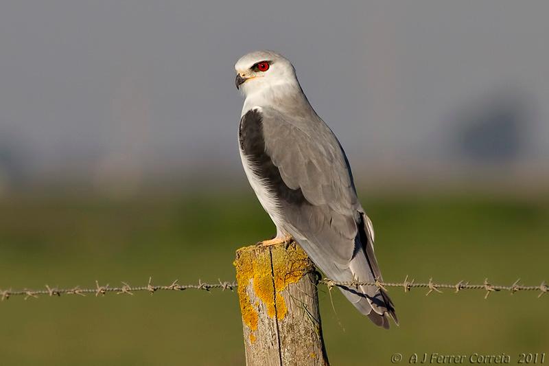 Peneireiro cinzento (Elanus coeruleus) Black shouldered kite