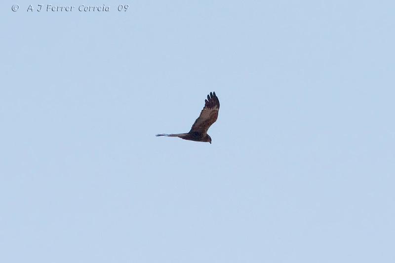 Tartaranhão-dos-pauis ou Águia-sapeira (Circus æruginosus) Marsh Harrier