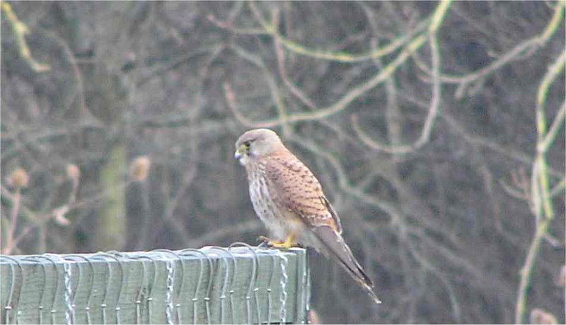 Kestrel Didcot Mar 2006