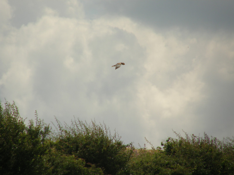 Marsh Harrier July 2007 Norfolk