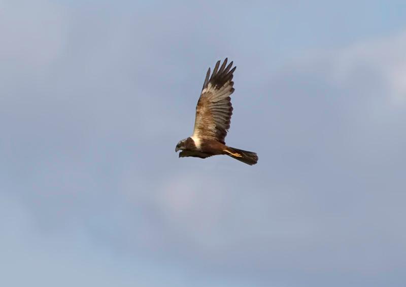 Tartaranhão-dos-pauis ou Águia-sapeira (Circus æruginosus) - macho imaturo Marsh Harrier - Immature male