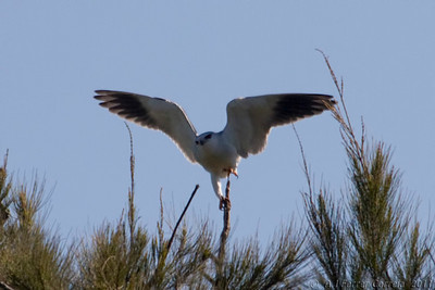 Peneireiro cinzento (Elanus coeruleus) Black shouldered kite