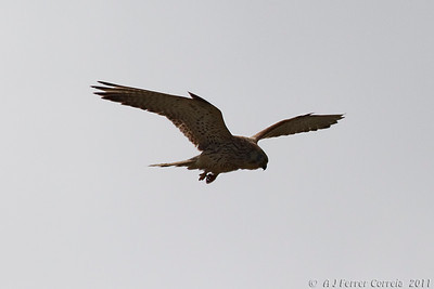 Francelho ou Peneireiro-das-torres (Falco naumanni) Lesser Kestrel