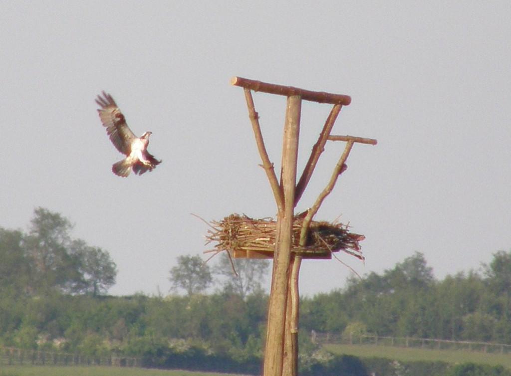 osprey Landing close up Rutland May 2010