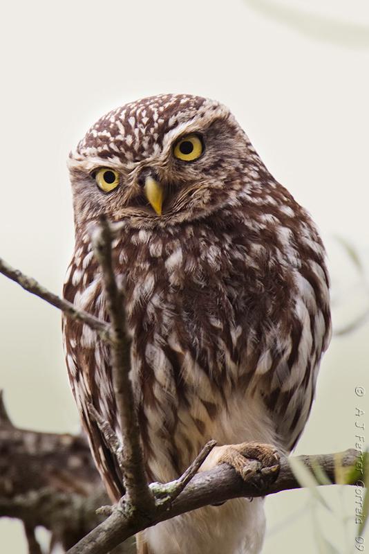 Mocho-galego (Athena noctua) Little Owl
