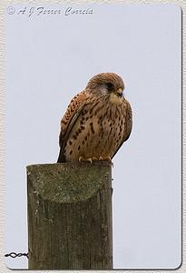 Francelho ou Peneireiro-das-torres (Falco naumanni): fêmea adulta Lesser Kestrel: adult female
