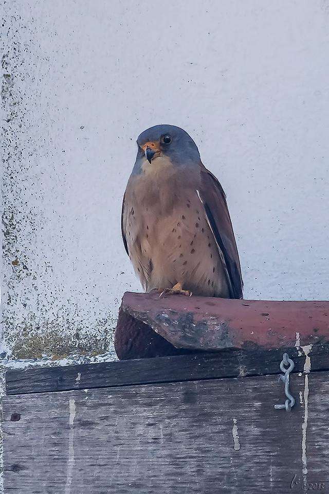 Francelho ou Peneireiro-das-torres (Falco naumanni): macho adulto Lesser Kestrel: adult male