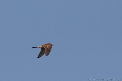 Peneireiro, fêmea (Falco tinnunculus) Kestrel, female