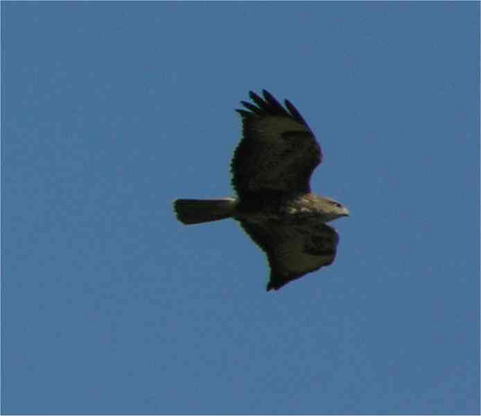 Buzzard Hungerford April 2006