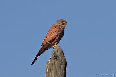 Peneireiro, macho (Falco tinnunculus) Kestrel, male