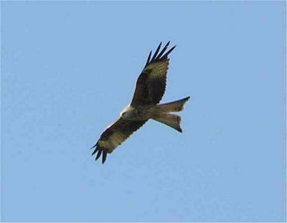 Red Kite Princes Risborough July 2005