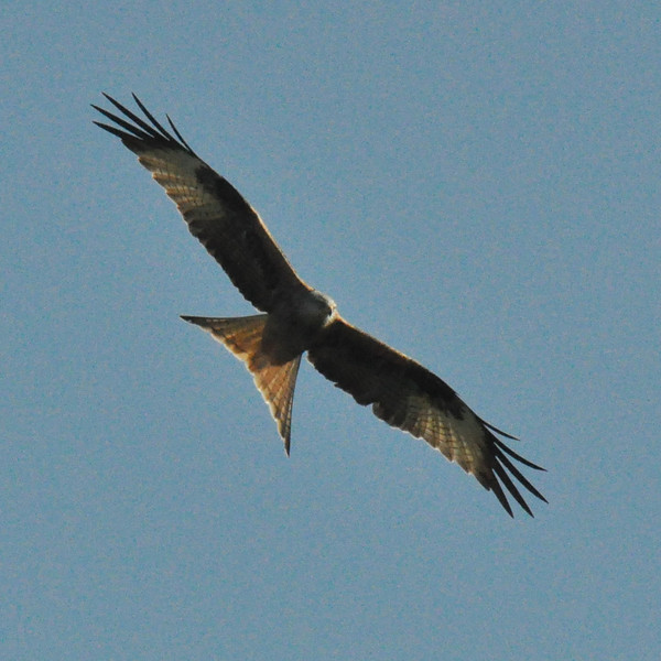 Red Kite in flight Wallingford March 2011