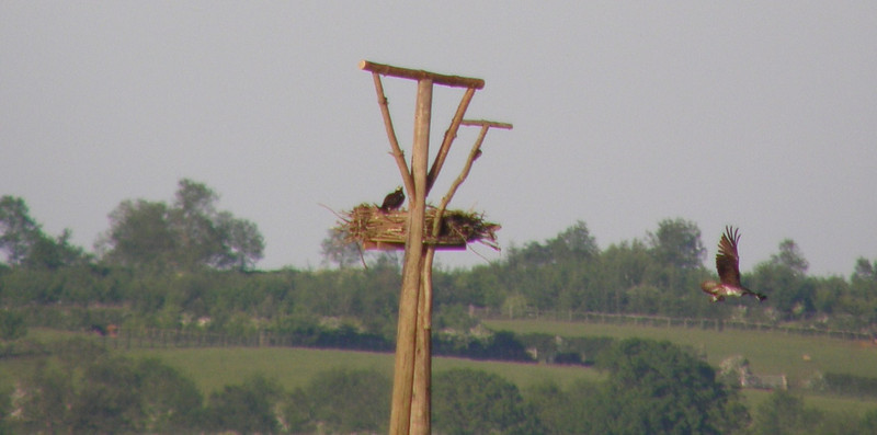 osprey male flying and female Rutland May 2010