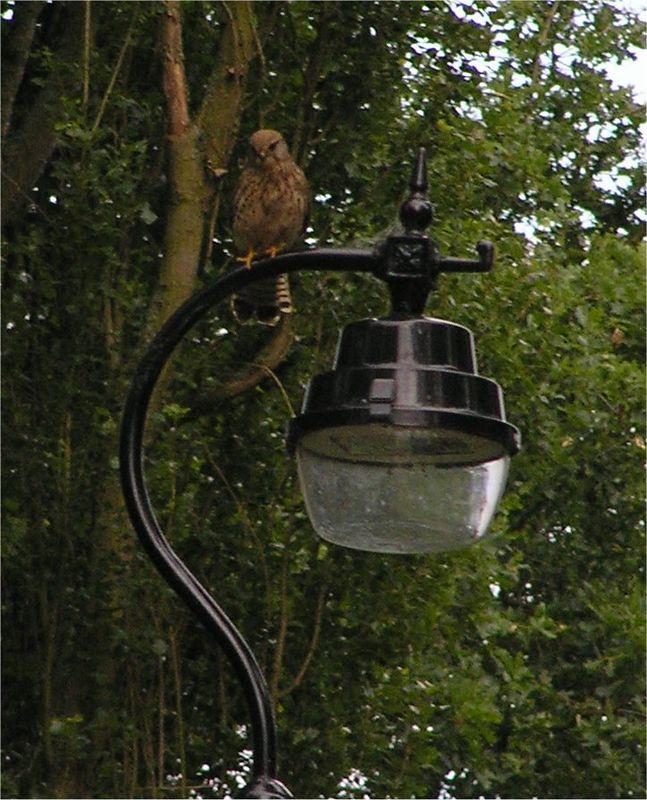 Kestrel Chilterns June 2005