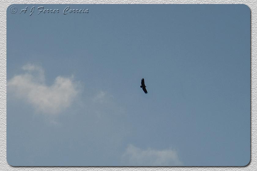 Grifo (Gyps fulvus) a pairar sobre as Portas de Rodão Buitre común, Portas de Rodão, R. Tajo Griffon Vulture soaring above Portas de Rodão (river Tagus)