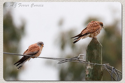 Francelho ou Peneireiro-das-torres (Falco naumanni): macho adulto e fêmea (possivelmente adulta) Lesser Kestrel: adult male and  female (possibly also an adult).