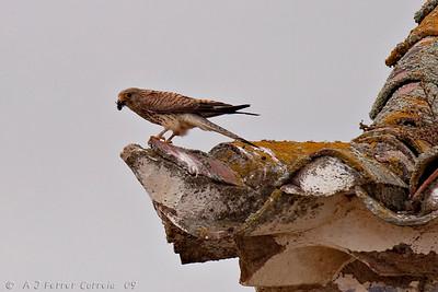Francelho ou Peneireiro-das-torres (Falco naumanni)) Lesser Kestrel