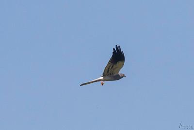Águia-caçadeirara (macho) - Circus pygargus Montagu's Harrier (male)