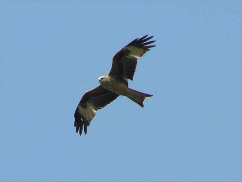 Red Kite Chinnor April 2006