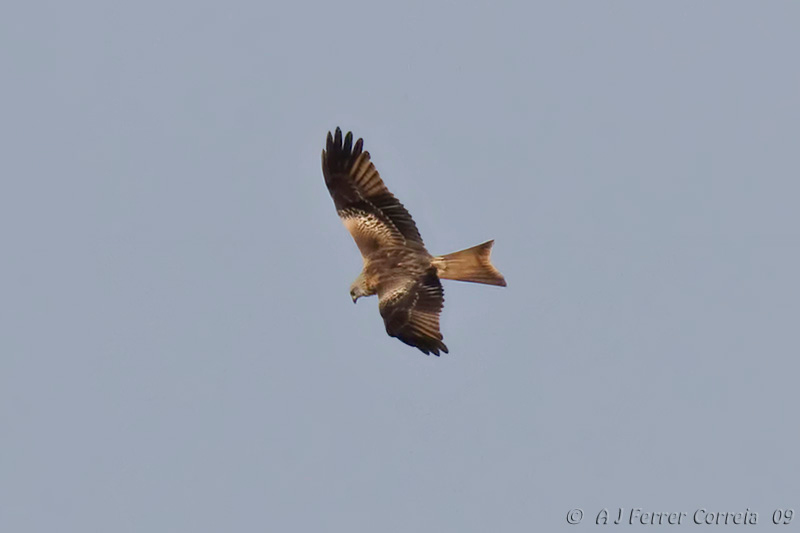 Milhafre-real (Milvus milvus) Red Kite