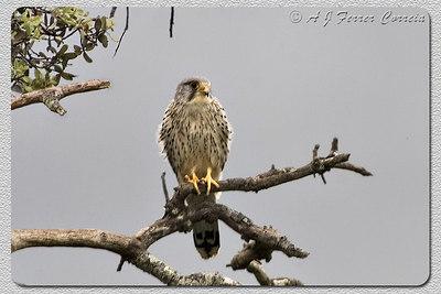 Peneireiro, macho (Falco tinnunculus) Kestrel