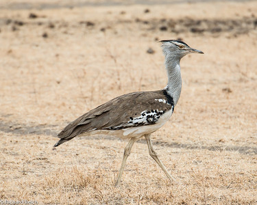 Kori Bustard - the male may be one of the heaviest living animals capable of flight! Male birds may weight between 15 to 40 pounds.