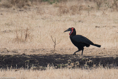 Southern Ground Hornbill, Ngorongoro Crater