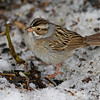 Clay-colored sparrow -rare feeder visitor