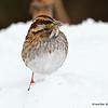 White-throated Sparrow on the snow.