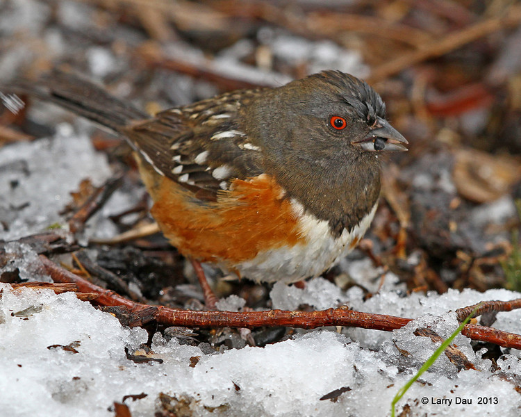 Female Spotted Towhee