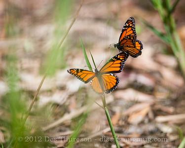 Butterflies in Springtime - Birds of Pine Ridge Conservation Park; Runaway Bay, Gold Coast, Queensland, Australia; 25 October 2012. Telephoto - Photos by Des Thureson