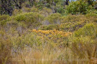 Banksia - Birds of Pine Ridge Conservation Park; Runaway Bay, Gold Coast, Queensland, Australia; 25 October 2012. Telephoto - Photos by Des Thureson