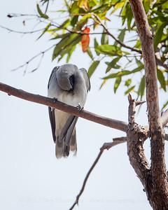 Possibly a Masked Woodswallow (Artamus personatus) or a Black Faced Cuckoo Shrike (Coracina novaeholllandiae) - Birds of Pine Ridge Conservation Park; Runaway Bay, Gold Coast, Queensland, Australia; 25 October 2012. Telephoto - Photos by Des Thureson