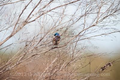 Variegated Fairy Wren (Malurus lamberti) - Birds of Pine Ridge Conservation Park; Runaway Bay, Gold Coast, Queensland, Australia; 25 October 2012. Telephoto - Photos by Des Thureson