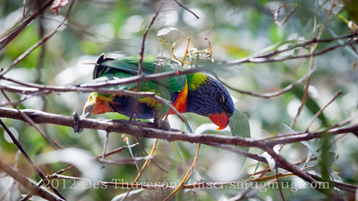 Rainbow Lorikeet (Trichoglossus haemotodus) - Birds of Pine Ridge Conservation Park; Runaway Bay, Gold Coast, Queensland, Australia; 25 October 2012. Telephoto - Photos by Des Thureson