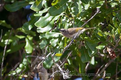 Brown Honeyeater (Lichmera indistincta) - Birds of Pine Ridge Conservation Park; Runaway Bay, Gold Coast, Queensland, Australia; 25 October 2012. Telephoto - Photos by Des Thureson