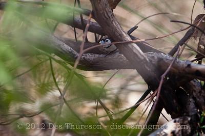 """Peek a boo!"" - Double Barred Finch (Taeniopygia bichenovii) - Birds of Pine Ridge Conservation Park; Runaway Bay, Gold Coast, Queensland, Australia; 25 October 2012. Telephoto - Photos by Des Thureson"