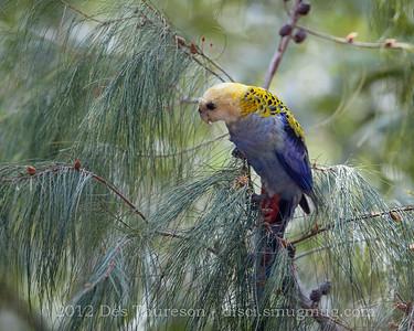 Pale Headed Rosella (Platycerus adscitus) - Birds of Pine Ridge Conservation Park; Runaway Bay, Gold Coast, Queensland, Australia; 25 October 2012. Telephoto - Photos by Des Thureson