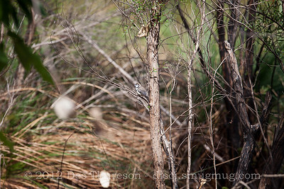 Camouflage - Double Barred Finch (Taeniopygia bichenovii) - Birds of Pine Ridge Conservation Park; Runaway Bay, Gold Coast, Queensland, Australia; 25 October 2012. Telephoto - Photos by Des Thureson