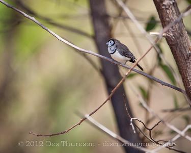 Double Barred Finch (Taeniopygia bichenovii) - Birds of Pine Ridge Conservation Park; Runaway Bay, Gold Coast, Queensland, Australia; 25 October 2012. Telephoto - Photos by Des Thureson