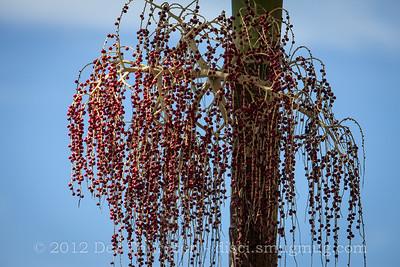 Palm Tree Flowers - Birds of Pine Ridge Conservation Park; Runaway Bay, Gold Coast, Queensland, Australia; 25 October 2012. Telephoto - Photos by Des Thureson
