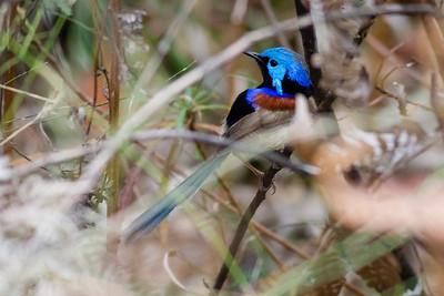Birds & Banksias: Raven St Reserve & Milne Hill Reserve, Chermside, Brisbane, Australia. Photos by Des Thureson.