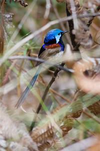Male Variegated Fairy Wren (Malurus lamberti) - Banksia Track - Raven St Reserve & Milne Hill Reserve (DSLR); West Chermside, Brisbane, Queensland, Australia; 03 October 2012. Photos by Des Thureson (Raven Street Reserve)