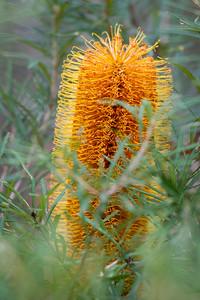 "Banksia Track - Hairpin Banksia or ""Golden Candlesticks"" (Banksia spinulosa) (Proteaceae Family) - Raven St Reserve & Milne Hill Reserve (DSLR); West Chermside, Brisbane, Queensland, Australia; 03 October 2012. Photos by Des Thureson (Raven Street Reserve)"