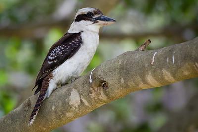 Pomax Track - Laughing Kookaburra (Dacelo novaeguineae) - Raven St Reserve & Milne Hill Reserve (DSLR); West Chermside, Brisbane, Queensland, Australia; 03 October 2012. Photos by Des Thureson (Milne Hill Reserve)