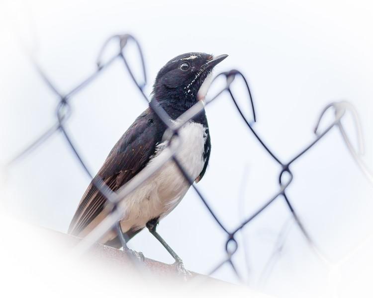 Willie Wagtail (Rhipidura leucophrys) - Pomax Track - Raven St Reserve & Milne Hill Reserve (DSLR); West Chermside, Brisbane, Queensland, Australia; 03 October 2012. Photos by Des Thureson (Milne Hill Reserve)