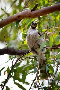 Pomax Track - Noisy Friarbird (Philemon corniculatus) - Raven St Reserve & Milne Hill Reserve (DSLR); West Chermside, Brisbane, Queensland, Australia; 03 October 2012. Photos by Des Thureson (Milne Hill Reserve)