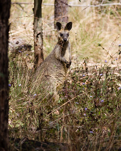 Banksia Track - Swamp Wallaby (Wallabia bicolor) - Raven St Reserve & Milne Hill Reserve (DSLR); West Chermside, Brisbane, Queensland, Australia; 03 October 2012. Photos by Des Thureson (Raven Street Reserve)